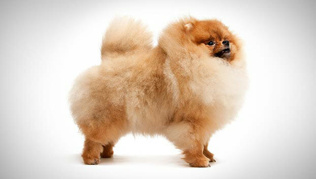 Toy Pomeranian Puppies for Sale  DogsNow